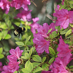 Cleared for Landing (Waterfall Guy) Tags: pink red flower gardens botanical spring knoxville tennessee arboretum east bee bumble