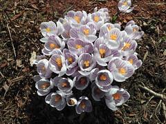 ** Enfin...!...les crocus sont bien l...** (Impatience_1) Tags: flower fleur spring explorer crocus m explore printemps impatience coth xplor 100commentgroup coth5