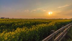 Rape Seed Sunset (Glenn Cartmill) Tags: uk sunset sky sun flower field yellow canon fence landscape eos unitedkingdom glenn april northernireland friday 1018 rapeseed hff 2015 tandragee amazingsunset countyarmagh cartmill 650d amazinglandscape
