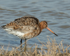 Photo of Black Tailed Godwit - in breeding plumage