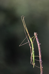 Accoppiamento Insetto stecco (Bacillus rossius) (antonello.fardella) Tags: macro nature canon insect natura insetto bacillus stecco rossius insettostecco