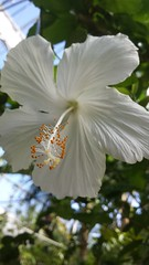 Snow Queen of The Tropics (kiwinproud) Tags: whiteflowers whitehibiscus aucklandbotanicalgardens