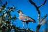 "Savannah Hawk <a style=""margin-left:10px; font-size:0.8em;"" href=""http://www.flickr.com/photos/41134504@N00/17348731711/"" target=""_blank"">@flickr</a>"