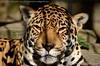 Jaguar - Panthera Onca (MrTDiddy) Tags: yellow female cat mammal zoo big kat feline bigcat antwerp jaguar zoë geel antwerpen grote onca panthera vrouwelijk grotekat zooanterpen zoogdir