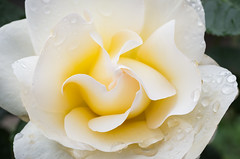 hlice orgnica (Juan Ig. Llana) Tags: lluvia flor rosa gotas blanca zb bizkaia jardinbotanico afc barakaldo baracaldo petalos ramonrubial