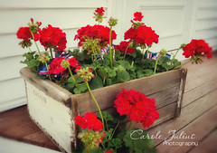 May 18, 2015 (Carole Julius) Tags: flowers geraniums crates project365 radlab yip2015