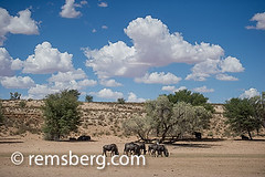 South Africa - Wildebeest in Khalagadi Transfrontier Park (Remsberg Photos) Tags: africa park wild southafrica wildlife adventure explore rest roam wildebeest horned matamata