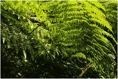 ghltal 292 (beauty of all things) Tags: fern green forest flora belgium grn wald farn belgien raeren prester ghltal