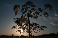 Cow parsley (fluitekruid) silhouette (PaulHoo) Tags: nature cow parsley mijdrecht holland netherlands nikon d700 evening sun sunset silhouette 2016 summer sky clouds flora