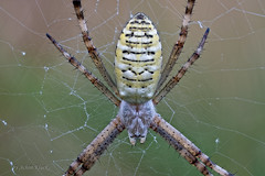 Wespenspinne (Argiope bruennichi) (auch Zebraspinne, Tigerspinne oder Seidenbandspinne) Weibchen (AchimOWL) Tags: spider panasonic lumix makro macro natur nature tier insekt animals insect spinne gx8 wildlife outdoor netz textur drop water rain gras ngc macrodreams wespenspinne argiopebruennichi zebraspinne tigerspinne seidenbandspinne radnetzspinne araneoidea