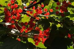 Rote Johannisbeeren; Bergenhusen, Stapelholm (4) (Chironius) Tags: stapelholm bergenhusen schleswigholstein deutschland germany allemagne alemania germania    ogie pomie szlezwigholsztyn niemcy pomienie frucht fruit frutta owoc fruta  frukt meyve    buah saxifragales steinbrechartige grossulariaceae stachelbeergewchse ribes rot