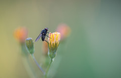 Mouche (Hexilene) Tags: proxy passion plante macro macrodreams macrodream lumire sigma nikon nikonpassion nature nikond750 insecte jaune blueribbon