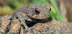 Tiny toad... Iscorama anamorphic (Small Creatures) Tags: macro closeup toad speedlight anamorphic cinemascope nikon4t d40 nikond40 sb23 iscorama nikkorh85mm anamorphicmacro iscoramamacro anamorphiccloseup iscoramacloseup
