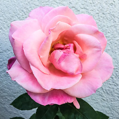 mid summer bloom (pbo31) Tags: livermore california unitedstates august 2016 boury pbo31 bayarea summer flower pink rose bloom season flora macro garden eastbay alamedacounty iphone6