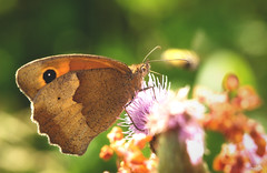 Meadow brown (VandenBerge Photography) Tags: maniolajurtina meadowbrown butterfly insect bokeh dof green colors colours summer nature macro ef100mmf28lmacroisusm europe canon closeup flora marianthistle