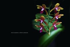 6 Zylinder (Erwin Lorenzen) Tags: orchid flower macro flora phalaenopsis makroaufnahme elo orchidee blume tamron blte orchideen canoneos5dmarkii miniphalaenopsis