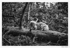 in the woods (Alja Ani Tuna) Tags: 63 63365 365 365challenge 365project photo365 project365 portrait animal d800 dailyphoto dog imperial pekingese imperialpekingese k9 nikond800 nikkor nikkor85mm nature naturallight nice white woods wood f18 forest fallentree tree trees onephotoaday onceaday deadtree
