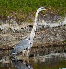 Jul 29 20166128 (Lake Worth) Tags: animal animals bird birdwatcher birds canonef500mmf4lisiiusm canoneos1dxmarkii everglades feathers florida nature outdoor southflorida waterbirds wetlands wildlife wing