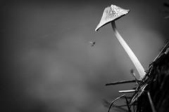 (Px4u by Team Cu29) Tags: pilz wald fliege insekt spinnennetz helmling nadeln baumnadeln fichte fichtennadeln