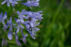 Agapanthus (Chikage A) Tags: agapanthus flower tokyo japan bee