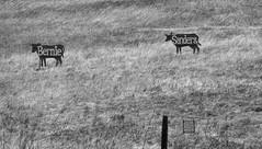 BernieCows (Joe Josephs: 2,861,655 views - thank you) Tags: landscapephotography landscapes landscape california californiacentralcoast californiacoast californialandscape travelphotography travel joejosephsphotography joejosephs joejosephstravelphotography outdoorphotography fineartphotography fineartprints photojournalism photographynikon blackandwhitephotography