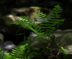Fern and Moss (vbd) Tags: pentax k3 vbd smcpentaxda55300mmf458ed ct connecticut fern green newengland park summer chatfieldhollowstatepark 2016 summer2016 plant handheld manualfocus