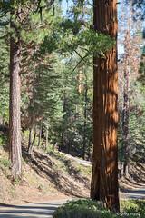 Redwood (Will shoot for lenses) Tags: ef24105mmf4lisusm summer flickr topazadjust eigsti topazdenoise trees 2016 july green vacation canoneos5dmarkiii lightroom humelake