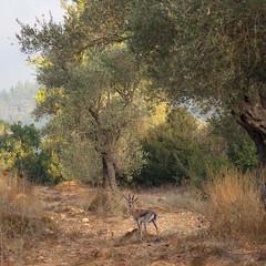 IMGP2825 (jamin.sandler) Tags: pentaxistds smcpentaxa35105mmf35 deer