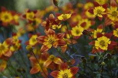 _DSC1968 (Alick Boych) Tags: flowers yellow red green shadow potted plants polo park nature real
