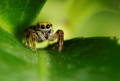 Baby Spider (Little Boy 09) Tags: canon eos 60d sigma 105 macro macrodream raynox dcr 250 jumping spider