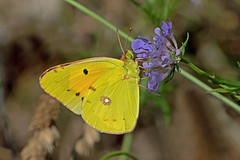 Colias crocea - the Clouded Yellow (BugsAlive) Tags: butterfly butterflies animal outdoor insects insect macro nature pieridae coliascrocea cloudedyellow coliadinae wildlife cévennes liveinsects france lepidoptera lozére schmetterling mariposa papillon farfalla