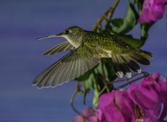 Bougainvillae Flyby (Bill Gracey) Tags: hummingbird hummer annashummingbird poway paintedbackdrop offcameraflash flores avianphotography nature naturephotography yn560iii yn560 yn560ii yongnuorf603n manualmode feeding sharp detail clarity bougainvillea
