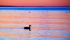 Rainbow (imageClear) Tags: glow sunset evening nature beauty color lovely duck animal one mallard nighttime northpoint sheboygan wisconsin bird wildlife aperture nikon d600 80400mm imageclear flickr photostream