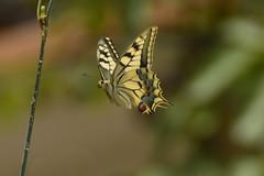 Mariposa volando (Porschista) Tags: mijardn maresme catalunya mariposa butterfly papiliomachaon papallona vol vuelo