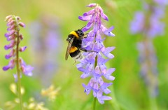 bumblebee meadow (be there...) Tags: bumblebee hummel trzmiel owad insekt blume wiese kwiat plant flower outdoor animal bee insect color green lila