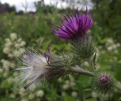 Carduus crispus (Welted Thistle) flower & fruit, Waterford Heath, Hertford, Herts, 8.8.16 (respect_all_plants) Tags: weltedthistle carduuscrispus waterfordheath hertford herts hertfordshire wildflowers