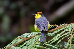 Collared Redstart (Whitestart) (Bufflehead66) Tags: costarica woodwarbler