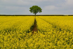 Alone (C-Smooth) Tags: tree nature flovers plants colza rapeseedfield oilseedrape landscape yellow alone rural agriculture stefanocabello path botanical springbeauty