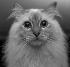 Head shot (bolanlanbo) Tags: k1 pentax pentaxart smc cat pet blackandwhite monochrome animal kitten