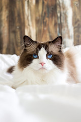 Albus  (Kiky) Tags: ragdoll cat chat blueeyes fluffy bed texture pet animal domestique