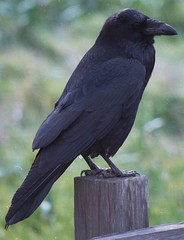 raven (lisafree54) Tags: raven corvid black bird wildlife animal nature free freephotos cco