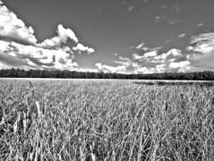 Dutch corn (Giel Pieter) Tags: panasonic panasoniclumixgx7 panasoniclumix thenetherlands dutch nederland holland field air clouds corn nature