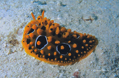 Phyllidia ocellata (kyshokada) Tags: nudibranch phyllidiaocellata scuba diving reef fiji astrolabereef underwater canon powershot phyllidiidae seaslug pacific animalplanet