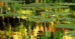 lily pads and reflections (Edinburgh Nette ...) Tags: mull aros september16 water reflections lilies leaves abstracts floating colour
