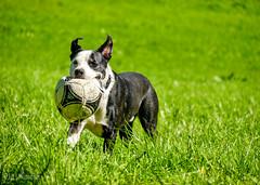 Spielender Hund / Playing Dog (loesche87) Tags: panasonic lumix dmc g6 panasoniclumix mft mirrorless microfourthirds rennen running