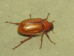 May beetle (Bug Eric) Tags: animals wildlife nature outdoors insects bugs beetles scarabbeetles scarabaeidae coleoptera coloradosprings colorado usa maybeetles phyllophaga northamerica july62016