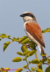 Redbacked shrike (Ted Humphreys Nature) Tags: redbacked shtike shrike tedhumphreysnature