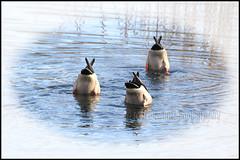 IMG_0193 Mallards (scotchjohnnie) Tags: nature photoshop canon duck wildlife waterbird canoneos ornithology mallards northeastengland canonef70300mmf456isusm canon7dmkii scotchjohnnie