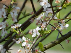 early morning fresh from the appletree (verabellapiccolachiaragloria) Tags: appletree appleblossoms earlymorningsun