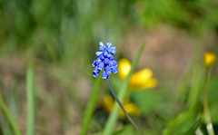 Springtime - Beauty of Nature. #Finland #Spring (L.Lahtinen (nature photography)) Tags: spring kevät flowers nature suomi luonto kukat kasvit plants nikon blue countryside colorful kevätkukat helmililja muscari helmihyasintti flickr d3200 nikond3200 earlyspring twittertuesday 55300mm 7dwf europe finland nikkor55300mm